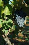 Le Mourv�dre, raisin pour de grands vins | Mourvedre photo 1