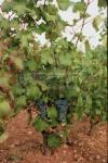 Le Mourv�dre, raisin pour de grands vins | Mourvedre photo 4