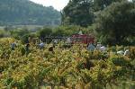 Les viticulteurs accompagnés des saisonniers au milieu des vignes pour les vendanges