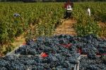 Le raisin récolté, retour des vendanges