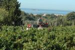 Les ouvriers vendangent au coeur des vignes sur fond de vue mer