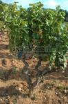 Vigne de Bandol, la m�re de tous nos vins |
