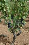 Vigne de Bandol, la mère de tous nos vins |