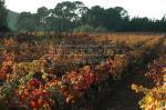 Les vigne du domaine aux couleurs de l'automne