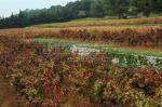 Les vignes de Bandol en restanques