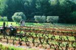 Viticulture traditionnelle et biologique du domaine viticole de Bandol